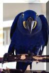 http://www.dickseibert.com/birdcontest/Parrot0387_small.jpg